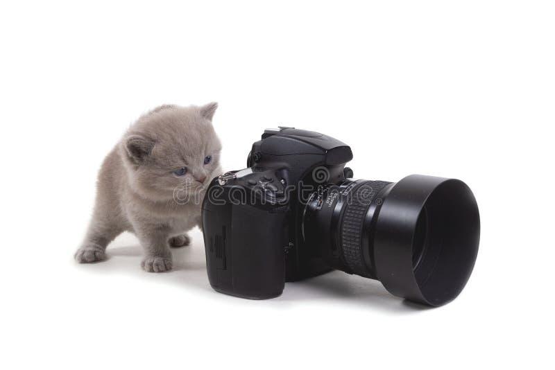 Le chaton britannique pourpre se tient sur un fond blanc et des regards ? la cam?ra ?ge 1 mois photographie stock