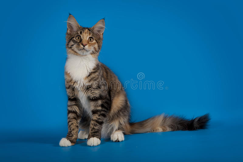 Le chaton de Maine Coon se repose sur un fond bleu de studio photographie stock libre de droits