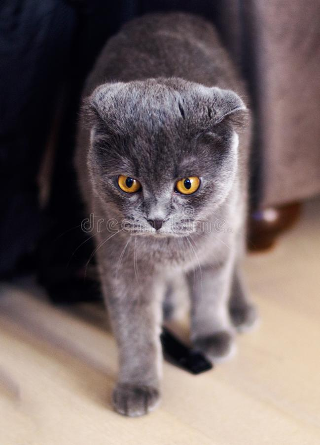 Le chaton de pure race britannique de Shorthair photos libres de droits