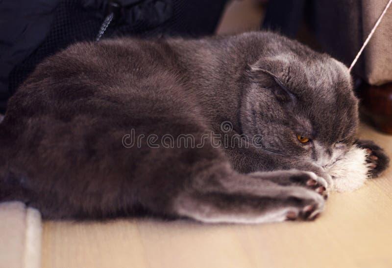 Le chaton de pure race britannique de Shorthair photographie stock