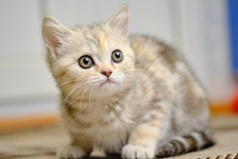 Le chaton droit écossais recherche à la maison Grands yeux photos libres de droits
