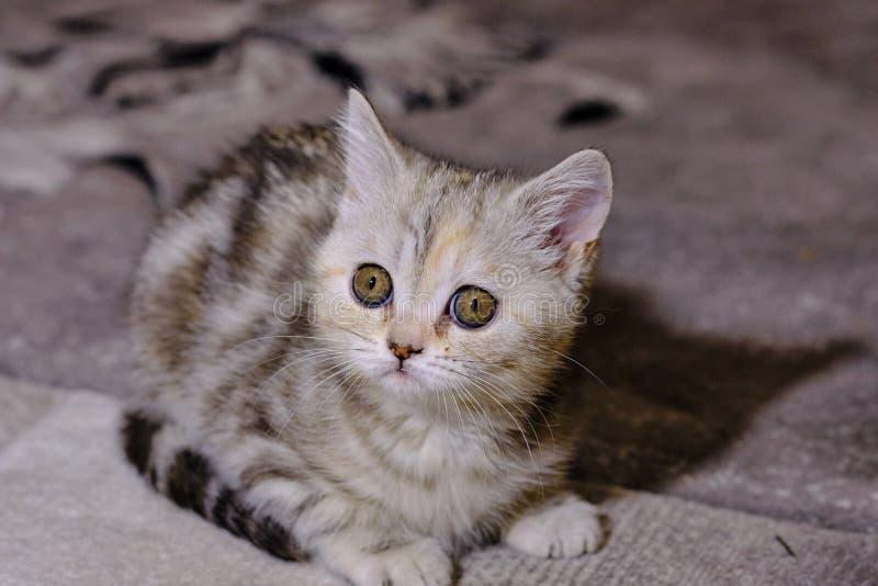 Le chaton droit écossais recherche à la maison Chaton rayé images libres de droits