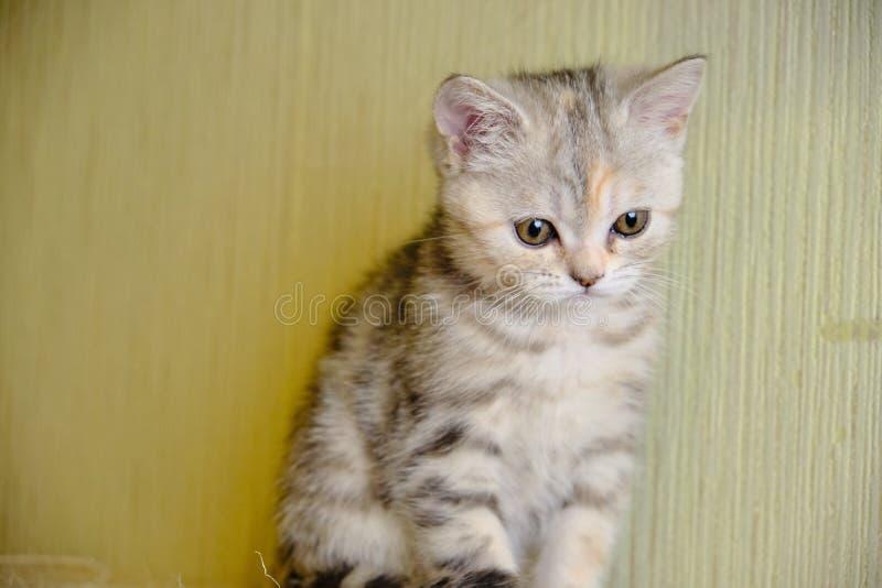 Le chaton droit écossais regarde en avant à la maison Chaton rayé photographie stock