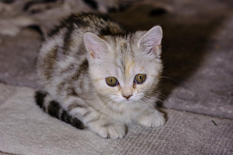 Le chaton droit écossais regarde en avant à la maison Chaton rayé photos stock
