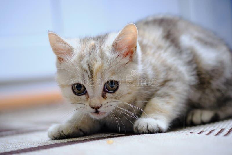 Le chaton droit écossais regarde en avant à la maison Chaton rayé photo libre de droits