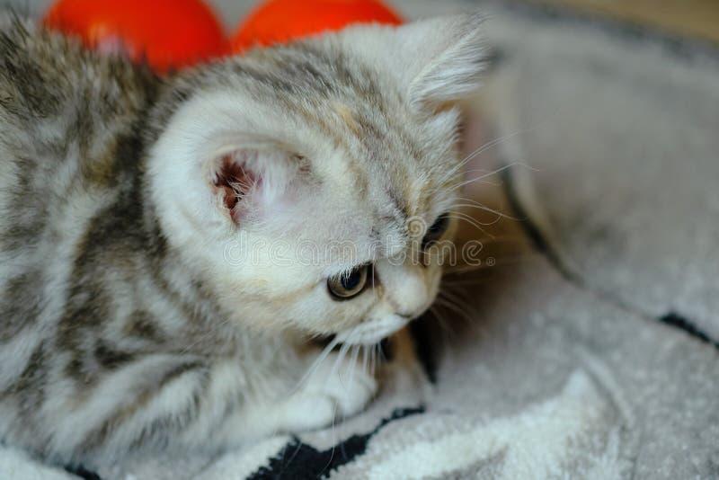 Le chaton droit écossais regarde loin à la maison Grands yeux photo stock