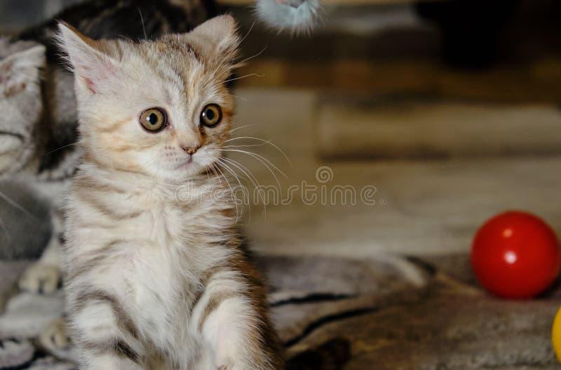 Le chaton droit écossais regarde loin à la maison Scared a barré le chaton avec les yeux verts images libres de droits