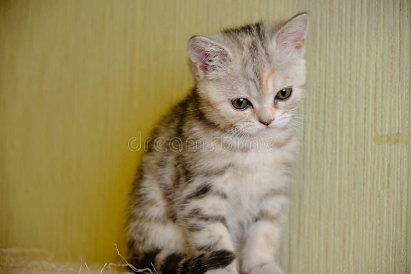 Le chaton droit écossais regarde vers le bas à la maison Grands yeux photographie stock libre de droits