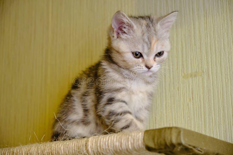 Le chaton droit écossais regarde vers le bas à la maison Grands yeux photos stock