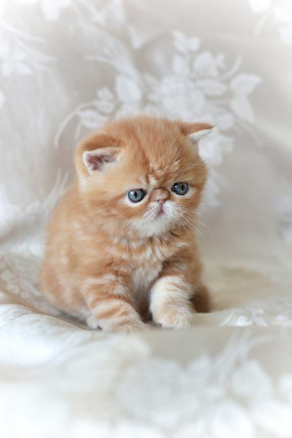 Le chaton exotique rouge de Shorthair se reposant sur un fond gris, regardant vers le bas et a soulevé sa patte image stock