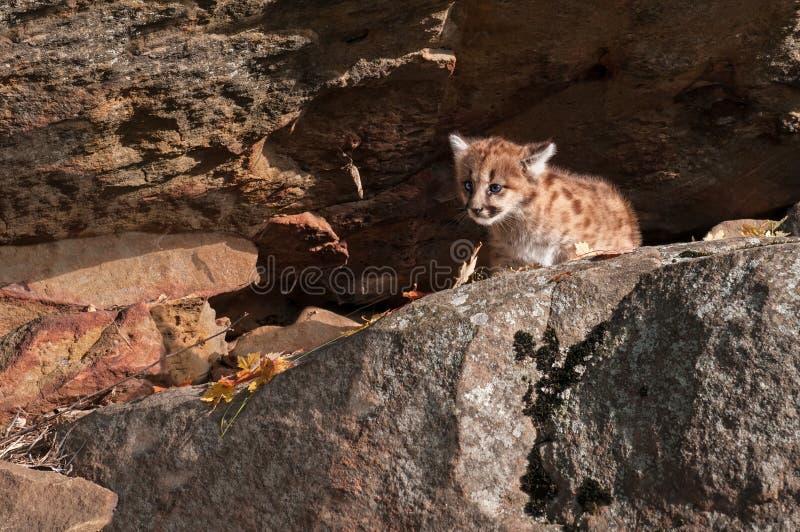 Le chaton femelle de puma (concolor de puma) rampe du repaire de roche images stock