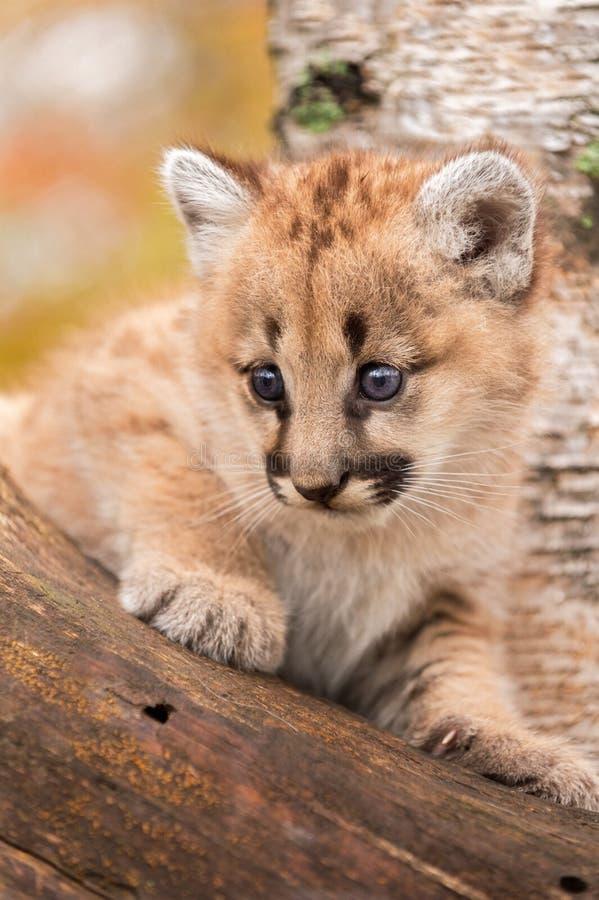 Le chaton femelle de puma (concolor de puma) regarde de l'arbre image stock