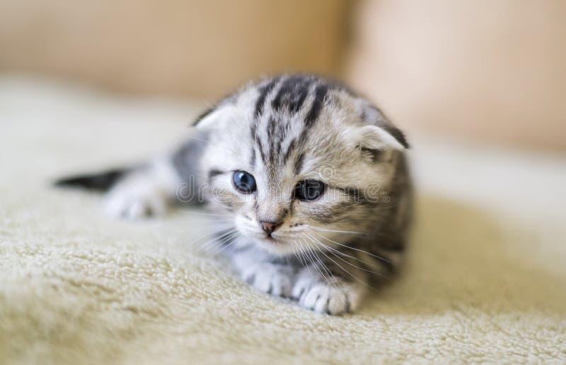 Le chaton gris de l'écossais de race plient se reposer sur le divan photographie stock