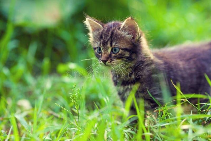 Le chaton marche sur l'herbe photo stock