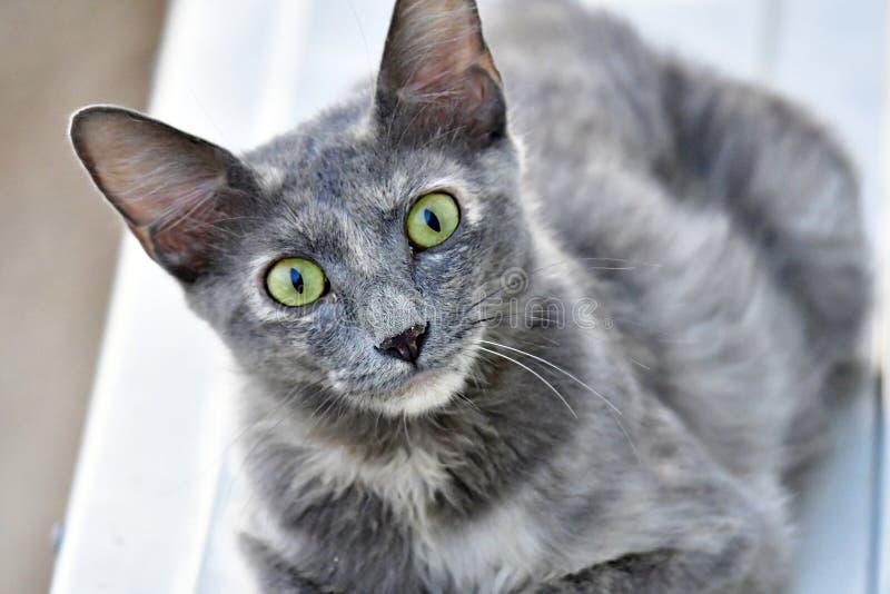 Le chaton mignon, la couleur grise et le chat de yeux verts regarde dans l'appareil-photo photos libres de droits