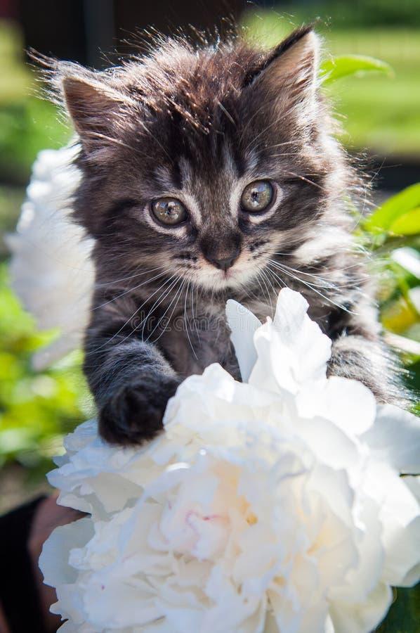 Le chaton mignon se repose sur une fleur de pivoine image stock