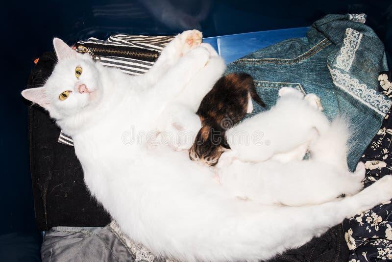 Le chaton mignon suce le lait du sein de mère photo libre de droits
