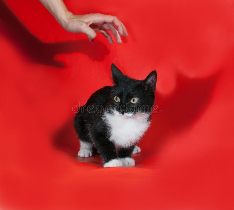 Le chaton noir et blanc effrayé se reposant là-dessus le rouge et se prolonge image libre de droits