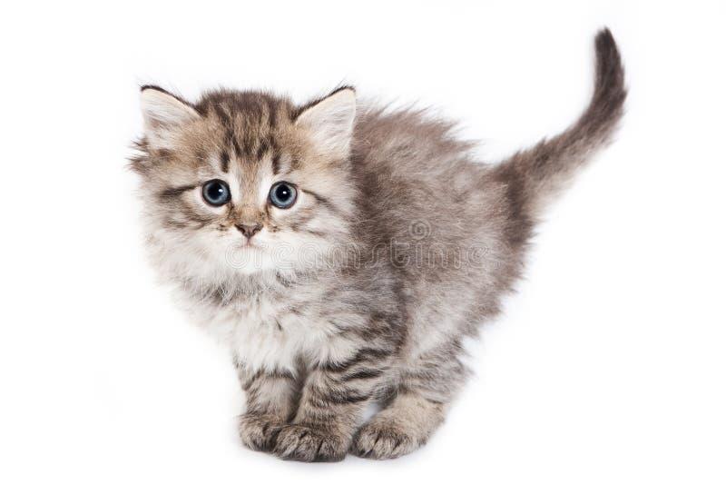 Le chaton pelucheux se tient avec une grande queue photo stock