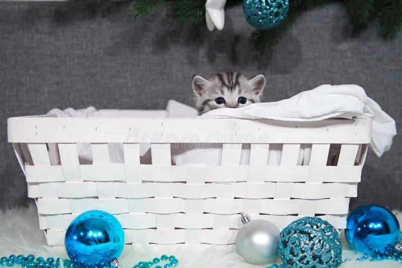 Le chaton regarde hors du panier Chaton de Noël dans le panier photo libre de droits