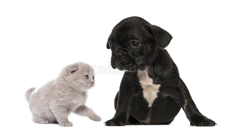 Le chaton rencontre une séance de chiot de bouledogue français photo stock
