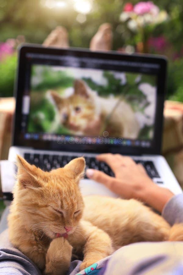 Le chaton rouge lèchent sa patte sur les genoux humains avec l'ordinateur portable photos libres de droits