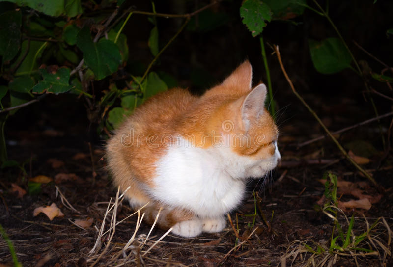 Le chaton rouge s'est tapi sous un buisson photo stock