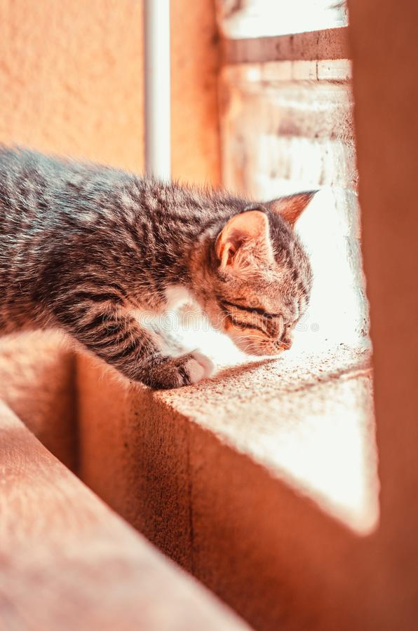 Le chaton sent un filon-couche de fenêtre image libre de droits