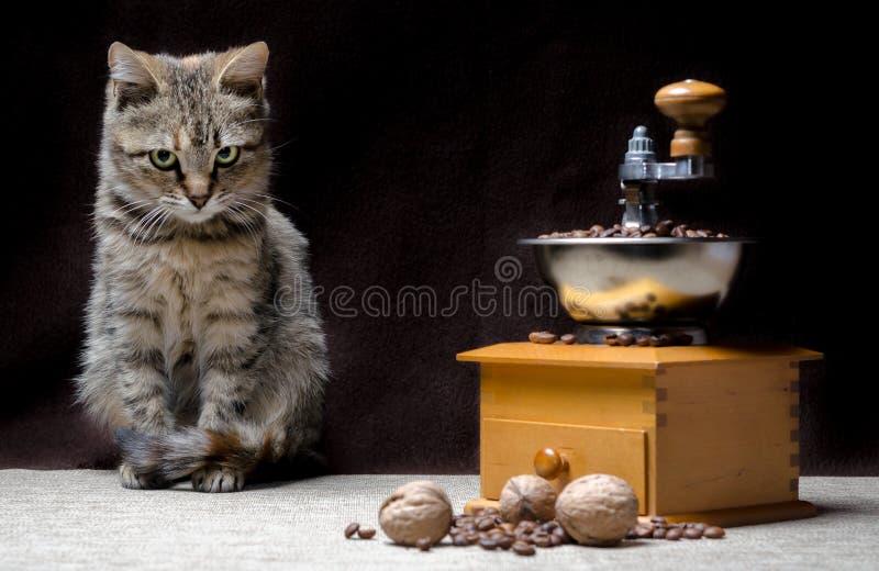 Le chaton tigré offensé de couleur se repose à côté d'une broyeur de café manuelle et des graines de café photo stock