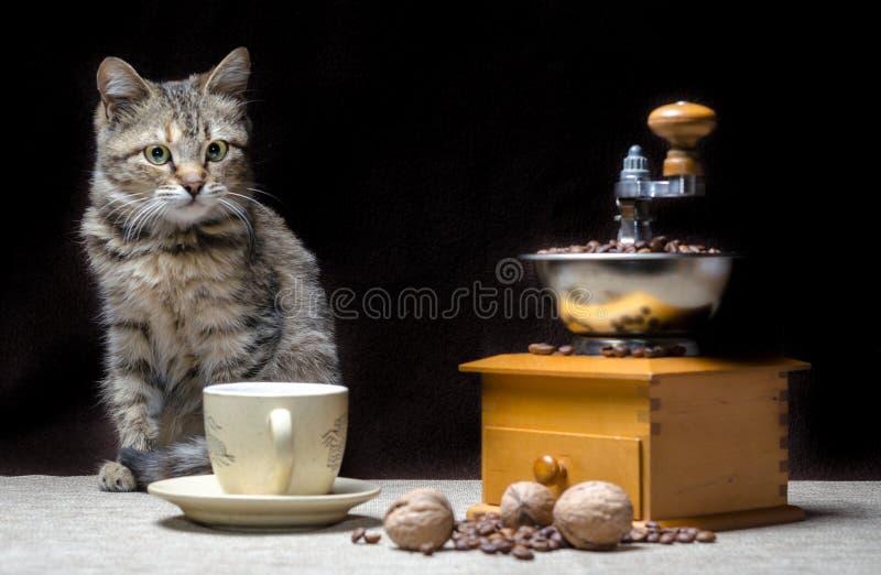 Le chaton tigré offensé de couleur se repose à côté d'une broyeur de café manuelle et des graines de café photographie stock libre de droits