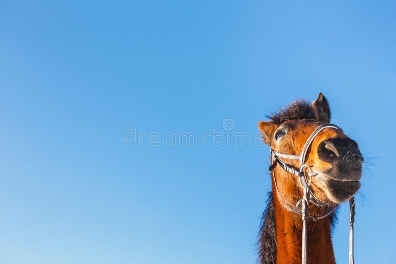 Le chef étonné d'un cheval rouge sur un fond bleu image stock