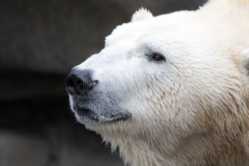le chef canadien d'ours arctique a photographié le projectile polaire photographie stock
