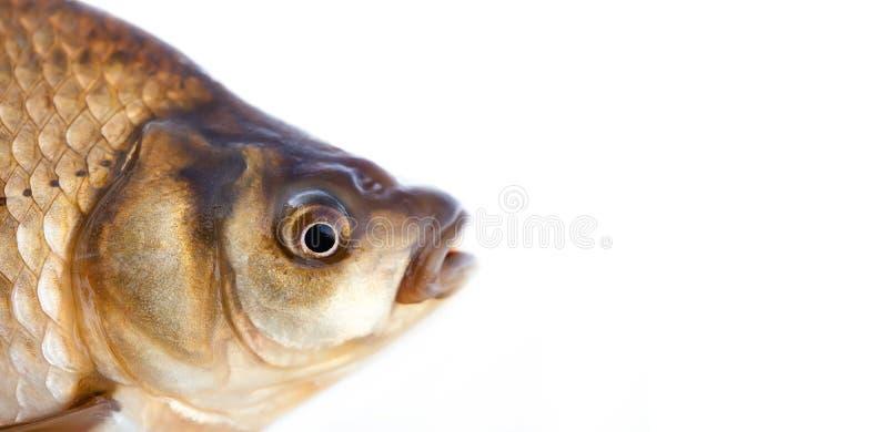 Le chef de poissons de Carassius, échelles pèlent la photo de texture Macro modèle écallieux de carpe de Crucian de vue Foyer sél photographie stock