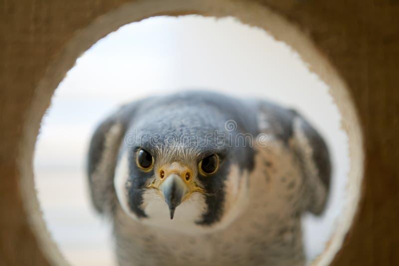Le chef et le cristal de faucon observent dans le nid images stock
