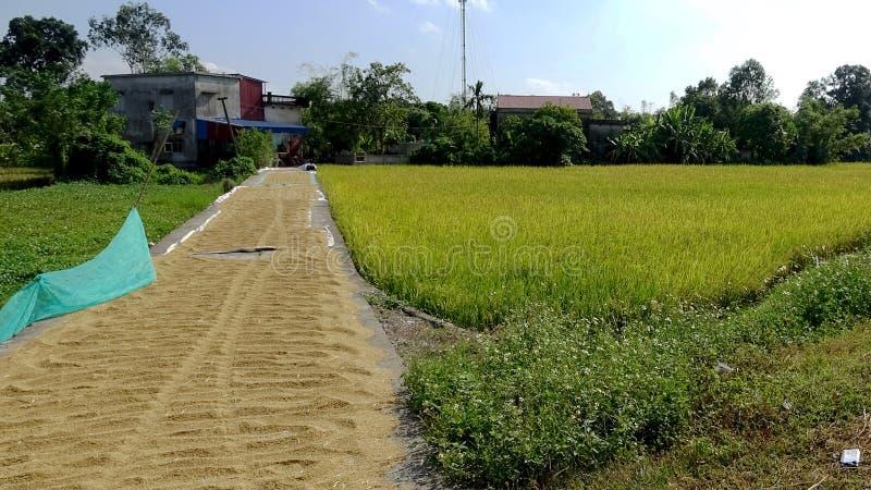 Le chemin de riz est mûr pendant la saison de récolte images libres de droits