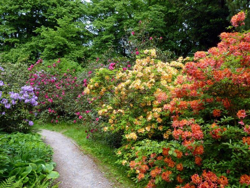Le chemin entre la belle azalée fleurit des buissons en nature images stock