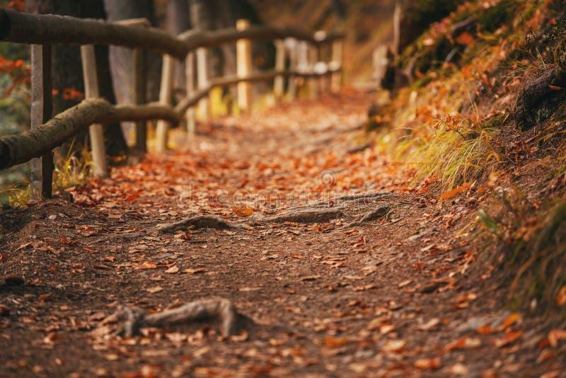 Le chemin forestier est couvert de feuilles d'automne Traînez dans la forêt avec des racines des arbres image libre de droits
