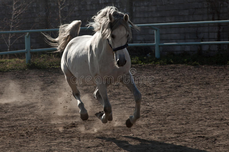 Le cheval blanc photographie stock libre de droits