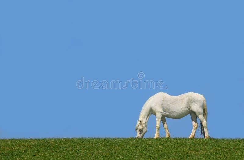 Le cheval blanc photographie stock