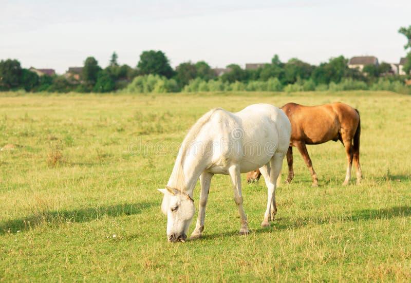 Le cheval blanc et brun frôlent sur le pâturage d'été photos stock