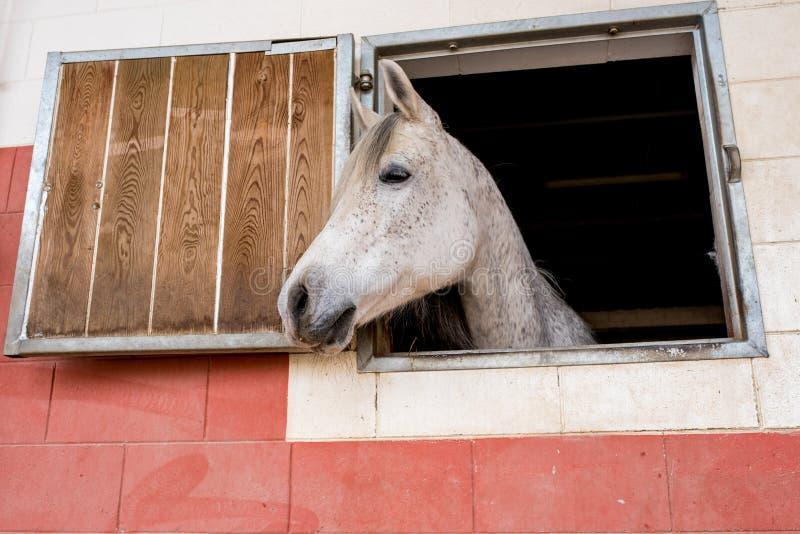 Le cheval blanc met sa tête hors de la fenêtre de son écurie photographie stock libre de droits
