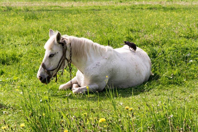 Le cheval blanc se trouve sur l'herbe, la corneille plume la pile du ` s de cheval de retour photographie stock libre de droits