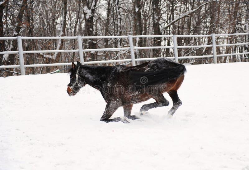 Le cheval brun est jouant et pataugeant dans la neige au fond du paysage monochrome d'hiver photo stock