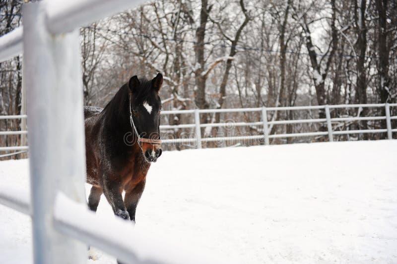 Le cheval brun fonctionne au fond du paysage monochrome d'hiver photo stock