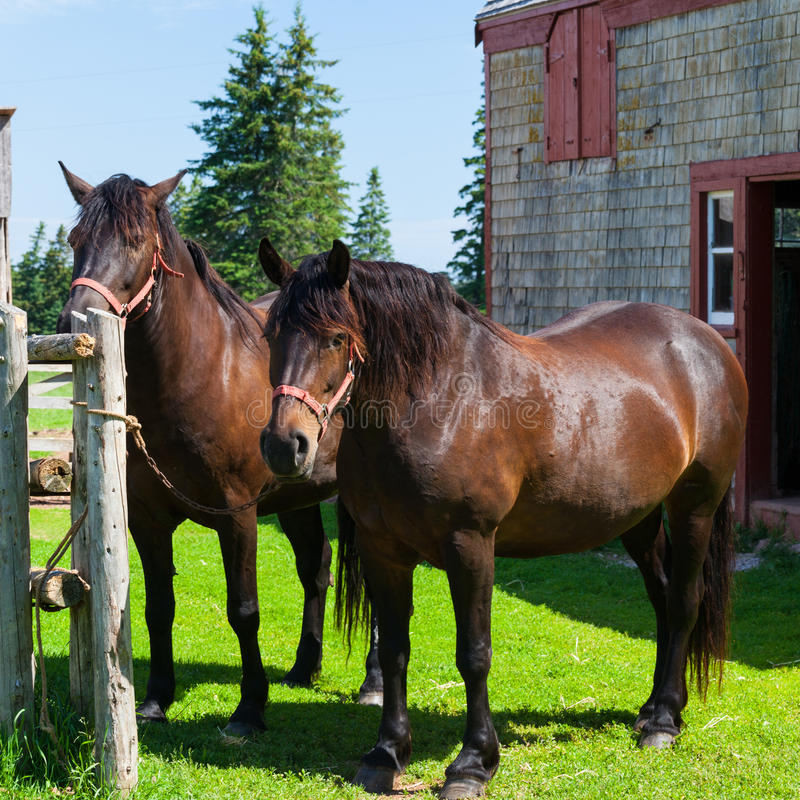 Le cheval canadien images stock
