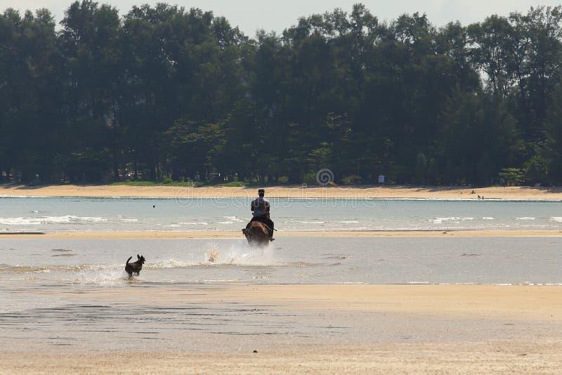 Le cheval d'équitation d'homme sur le ressac de plage et le fonctionnement de chien suivent photos stock