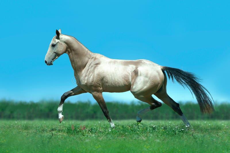 Le cheval d'or brillant d'akhal-teke fonctionne librement dans le domaine vert d'été photos stock