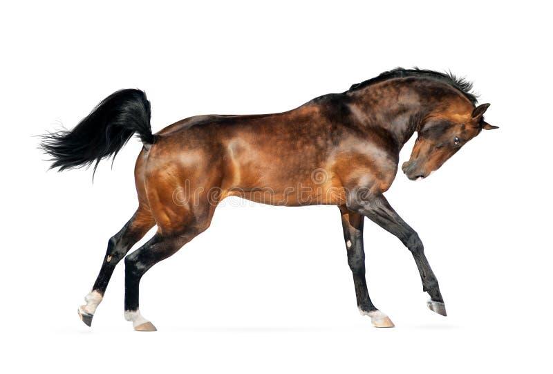 Le cheval d'or d'akhal-teke de baie d'isolement sur le blanc photos stock