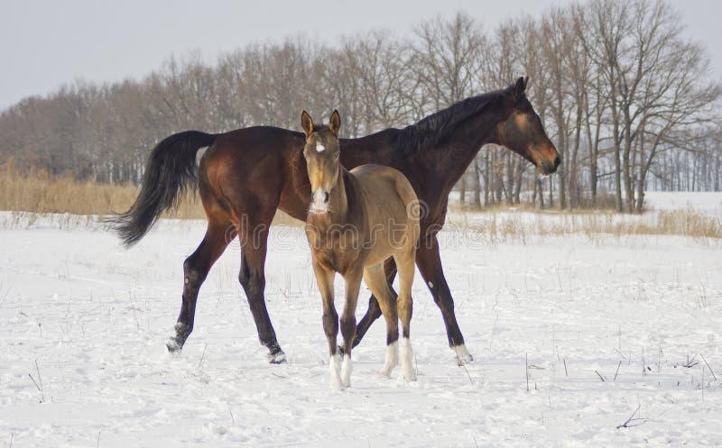 Le cheval de Brown avec son poulain marche dans la neige photo stock