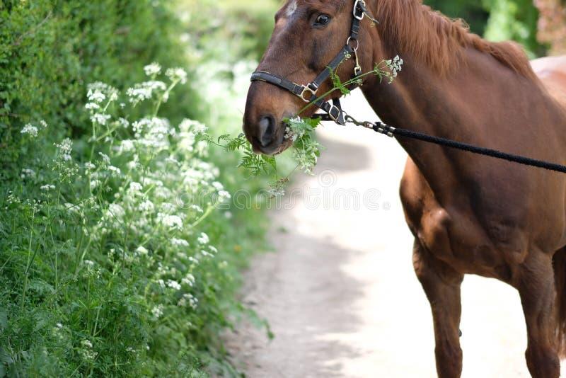 Le cheval de Brown mange l'herbe verte luxuriante images libres de droits